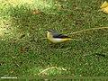 Grey Wagtail (Motacilla cinerea) (23725342892).jpg