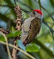Grey Woodpecker ...Gambia (33190095995), crop.jpg