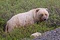 Grizzly Bear (f) (29916250988).jpg