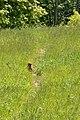Groundhog (Marmota monax) - Guelph, Ontario 2019-06-08.jpg