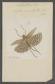 Gryllacris - Print - Iconographia Zoologica - Special Collections University of Amsterdam - UBAINV0274 066 01 0003.tif