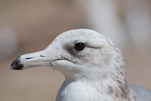 A gull portrait