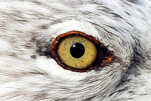 Jamie Wyeth - Image: Gull eye