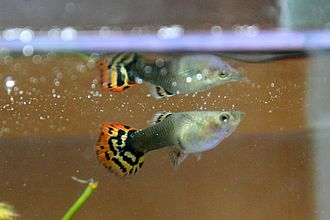 Animal culture - Guppy mating behavior is believed to be culturally influenced.