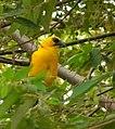 Gymnomystax mexicanus (Turpial lagunero) - Flickr - Alejandro Bayer (1).jpg