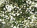 Gypsophylla panjculata-Anna park-yercaud-salem-India.JPG