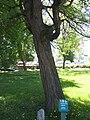Hõlmikpuu.jpg