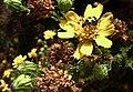 H20130914-9909—Deinandra minthornii (Syn Hemizonia minthornii) w Diabrotica undecimpunctata undecimpunctata—RPBG—DxO (48790512846).jpg