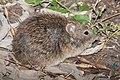 HISPID COTTON RAT (Sigmodon hispidus) (11-8-13) ben-rio grande state park, mission, tx -01 (10750151035).jpg