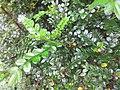 HK 灣仔 Wan Chai 囍匯 The Avenue Rooftop Garden terrace plants Oct 2017 IX1 green lap compound leaves.jpg