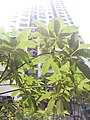 HK 西營盤 Sai Ying Pun 第三街遊樂場 Third Street Playground 公園 LCSD park green plants n trees August 2017 Lnv2 18.jpg