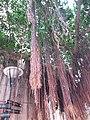 HK CWB 銅鑼灣 Causeway Bay 摩頓台 Moreton Terrace Chinese Banyan tree roots June 2019 SSG 01.jpg