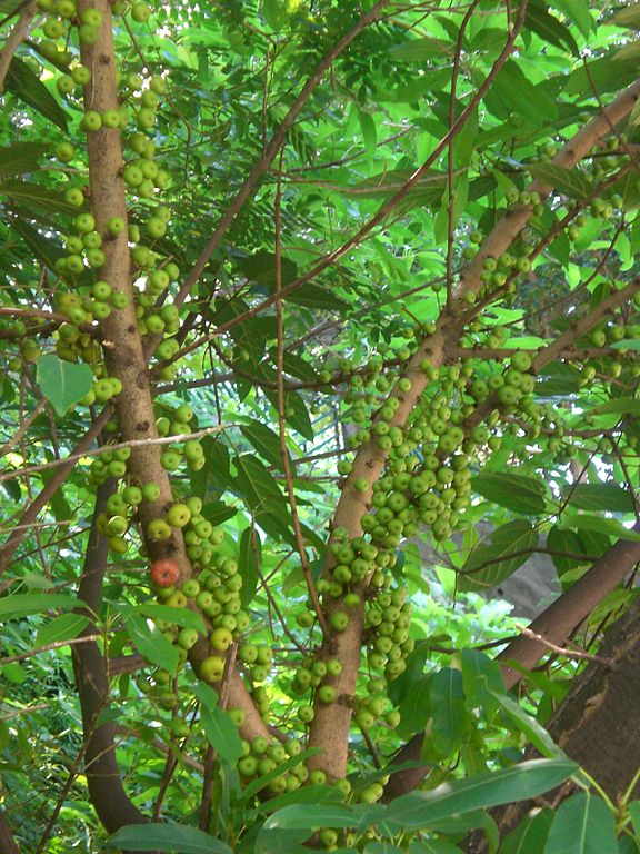 File hk tree victoria road green leaves with small fruit jpg wikimedia commons - Romanian cherry tree varieties ...