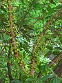 HK Tree Victoria Road Green Leaves with Small Fruit.JPG