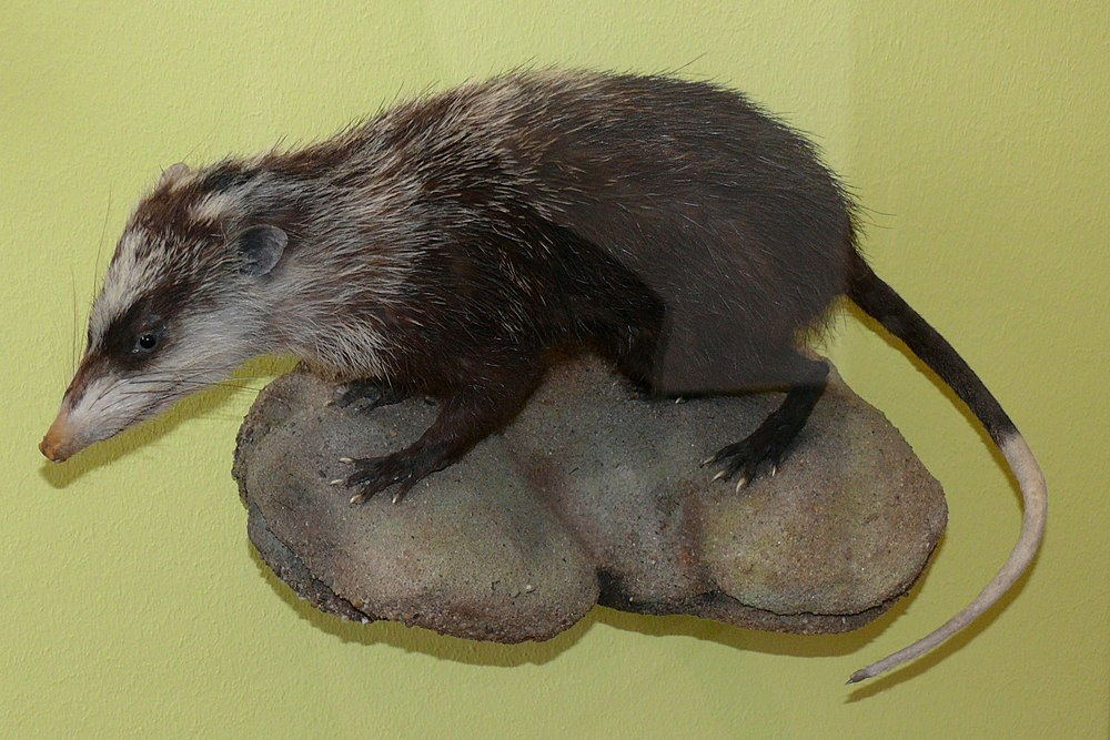 The average litter size of a Moonrat is 1
