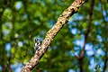 Hairy woodpecker (33841508345).jpg