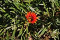 Half open Gazania flower.jpg