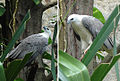 Haliaeetus leucogaster (12644788775).jpg