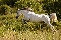 Haliila fighter horse.jpg