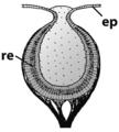 Haliotis pinhole eye.png