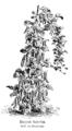 Haricot Intestin Vilmorin-Andrieux 1904.png
