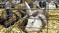Harlequin Rabbits.jpg