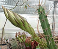 Harrisia pomanensis Knospe.jpg