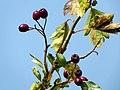 Hawthorn (Crataegus monogyna) (26181685301).jpg