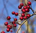 Hawthorn berries (5204238641).jpg