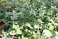 Helichrysum petiolare Silver 1zz.jpg