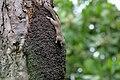 Heliosciurus gambianus in Gambia 0001.jpg