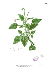 Heliotropium indicum Blanco1.184