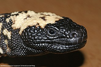 Gila monster - Image: Heloderma suspectum 'suspectum'