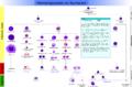 Hematopoiesis (human) diagram-es.png