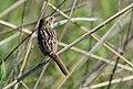 Henslow's Sparrow (35020210875).jpg