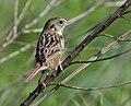 Henslow's Sparrow (35020213905).jpg