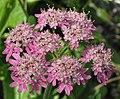 Heracleum austriacum subsp siifolium RF.jpg