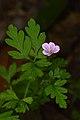 Herb Robert (Geranium robertianum) - Kitchener, Ontario 01.jpg