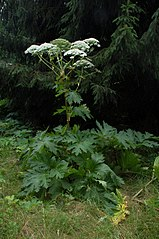 Boľševník obrovský (Heracleum mantegazzianum)