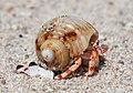 Hermit crabs of Seychelles 05.jpg