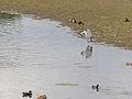 Heron, preening (14379728454).jpg
