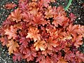 Heuchera 'Peach Flambé' at RHS Garden Hyde Hall, Essex, England.jpg