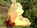 Hibiscus surattensis, iSimangaliso NP 02.jpg
