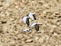 Hill Pigeon (Columba rupestris) (39589207131).jpg