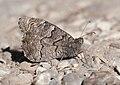 Hipparchia fatua - Freyer's Grayling.jpg