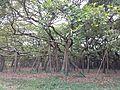 Historic Banyan Tree of AJC Bose Botanic Garden.jpg