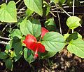 Holmskioldia sanguinea.jpg