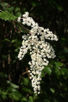 Holodiscus discolor wikipedia holodiscus discolor flowers anacortes washington publicscrutiny Image collections
