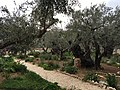 Holy Land 2016 P0992 Gethsemane olive trees.jpg