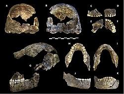 Homo naledi holotype specimen (DH1).jpg